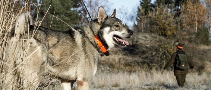 Собака с GPS трекером в лесу