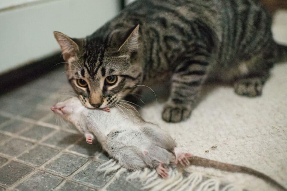 Лучшее средство от мышей и крыс